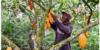 CACAO : LE CONSEIL CAFE-CACAO ET GHANA COCOA BOARD SUSPENDENT TOUTE COLLABORATION AVEC L'ASSOCIATION DES CHOCOLATIERS D'AMERIQUE