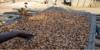Cacao: forte réduction du prix payé aux planteurs en Côte d'Ivoire